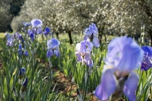 Iris au Domaine de la Rose Lancôme copyright Bruno Vacherand-Denand, PASSAGE CITRON